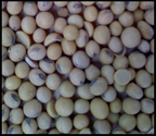 Yellow Soybeans 10